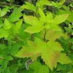 Physocarpus- Opulifolius Dart