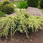 Juniperus (Juniper) Squamata Holger 40-50cm 7.5Ltr