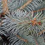 Picea Pungens Blue Diamond (Colorado Blue Spruce) 40-50cm 7.5Ltr