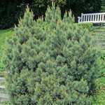 Pinus Sylvestris Watereri (Scots Walter Pine) 30-40cm 7.5Ltr