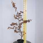 Beech Hedging (Green) Fagus Sylvatica 1.2mtr 3.5ltr