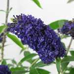 Buddleia Davidii Adonis Blue (Buddleja) Butterfly Bush