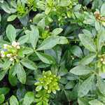 Choisya Ternata Walberton Moonshine (Mexican Orange Blossom) 10Ltr