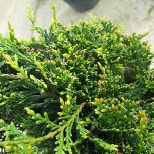 Cupressocyparis Leylandii Castlewellan Gold Spiral 130-140cm Height