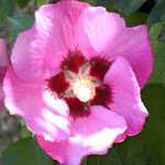 Hibiscus Syriacus Pink Giant (Rose of Sharon)