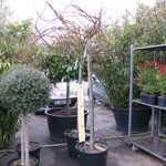 Acer Palmatum Seiryu (Japanese Maple) 3/4 Standard 50 Litre Pot