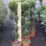 Cupressocyparis Leylandii 'Blue Jeans' (Cloud Tree) 10 Litre Pot