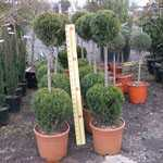 Cupressocyparis Leylandii Castlewellan Gold 2 Balls 100/120 Height 25 Litre Pot