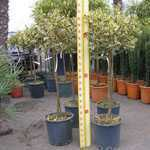 Ilex aquifolium Argentea Variegata (Silver Variegated English Holly) 1/4 Standard 10 Litre Pot