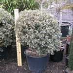 Ilex aquifolium Argentea Variegata (Silver Variegated English Holly) Ball 70/80cm 75 Ltr Pot