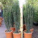 Ilex Crenata Fastigiata 110cm (Japanese Holly) Bush 10 Litre Pot