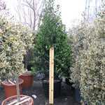 Ilex Nellie Stevens (Cone) 150-175cm Height 90 Litre Pot