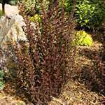 Physocarpus Opulifolius Little Devil ( Ninebark) 3.5Ltr