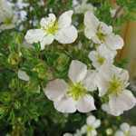 Potentilla Fruticosa Abbotswood (Shrubby Cinquefoil) 3.5Ltr