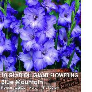 Gladioli Giant Flowering 'Blue Mountain' Bulbs 10 Per Pack