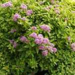 Spiraea Japonica Sundrop First Editions 3.5Ltr