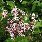 Syringa Microphylla Superba (Lilac Superba) 12Ltr