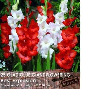 Gladioli Giant Flowering 'Best Explosion' Bulbs 25 Per Pack