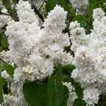 Syringa Vulgaris Madame Lemoine (Lilac) 5Ltr