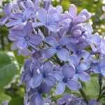 Syringa Vulgaris President Grevy (Lilac) 5Ltr
