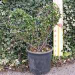 Ligustrum Jonandrum (Delavayanum) Topiary Heart Shaped Privet  5 Litre Pot