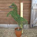 Ligustrum Jonandrum (Delavayanum) Topiary Horse Shaped Privet 15 Litre Pot