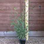 Phyllostachys Aurea (Fishpole Bamboo) 3.5 Litre Pot