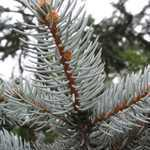 Picea Pungens Hoopsii (Colorado Blue Spruce) 125-150cm Height 46 Litre Pot