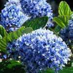 Ceanothus Arboreus Trewithen Blue (Californian Lilac) 3 Ltr 90cm cane