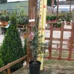 Pyracantha Red Column (Firethorn) Hedging Plant 3 Ltr 90cm cane