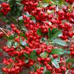 Pyracantha Red Column (Firethorn)