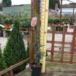Pyracantha Orange Charmer (Firethorn) Hedging Plant