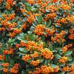 Pyracantha Orange Charmer (Firethorn) Hedging Plant