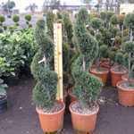 Cupressocyparis Leylandii Castlewellan Gold Spiral 100-125cm Height 15Ltr