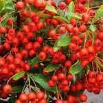 Pyracantha Darts Red Trellis Climber (Firethorn) Hedging Plant 20 Ltr