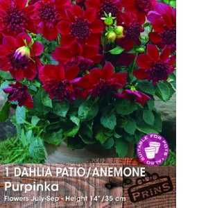Dahlia Anemone Purpinka Tubers/Bulbs 1 Per Pack