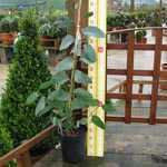 Eucalyptus Niphophila (Snow Gum) 3 Ltr 90cm cane