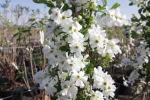 Exochorda Macrantha 'The Bride' Trellis Climber 20 Litre Pot