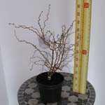 Prunus Incisa Kojo-no-mai (Fuji Cherry) 3.5Ltr