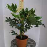Fatsia japonica variegata Japanese Aralia (Variegated) 60-80cm Height 7.5Ltr
