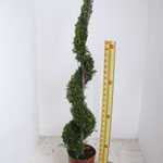 Cupressocyparis Leylandii Castlewellan Gold Spiral 130-140cm Height 12Litre Pot