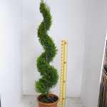 Cupressus Macrocarpa Goldcrest Spiral 120cm 18Litre Pot