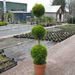 Cupressus Macrocarpa Goldcrest 3 Ball 140cm 25 Litre Pot