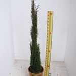 Cupressus sempervirens Pyramidalis Totem (Conifer) 100-120cm Height 12Litre Pot