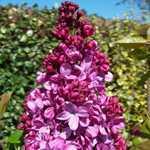 Syringa Vulgaris Prince Wolkonsky (Lilac) 5Ltr