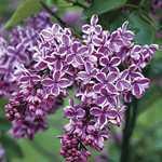Syringa Vulgaris Sensation (Lilac) 5Ltr