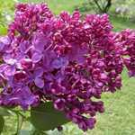 Syringa Vulgaris Znamya Lenina (Lilac) 5Ltr