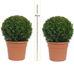 Buxus Sempervirens Ball/Topiary Ball) Set of 2 30cm 10Ltr Pot