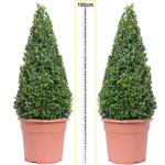 Buxus Sempervirens Pyramid/Cone (Box Hedge/Topiary Plant) Set of 2 10Ltr