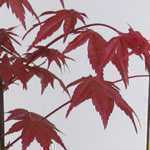 Acer Palmatum Shindeshojo (Japanese Maple)